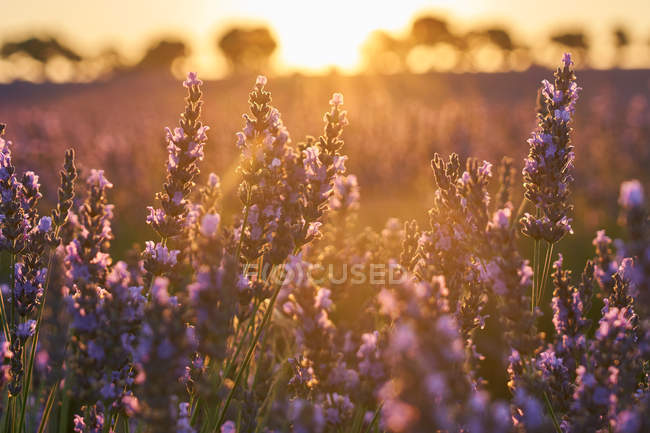 Lavender field at sunset in bright backlit — Stock Photo