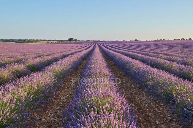 Gran campo de lavanda violeta en el campo - foto de stock