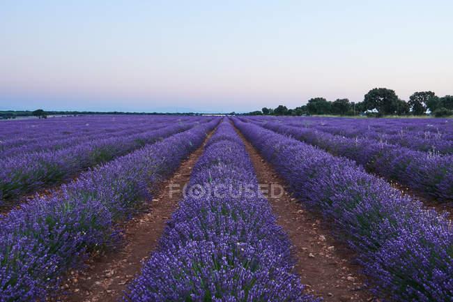 Велике Фіолетове поле лаванди у вечірній світ — стокове фото