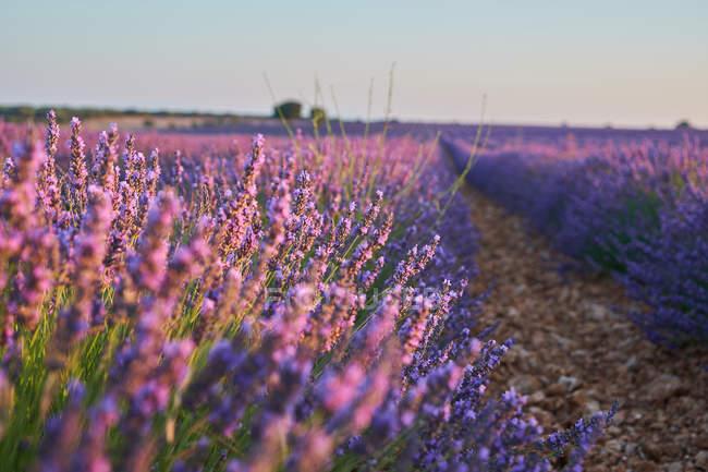 Велике Фіолетове поле лаванди в сільській місцевості — стокове фото