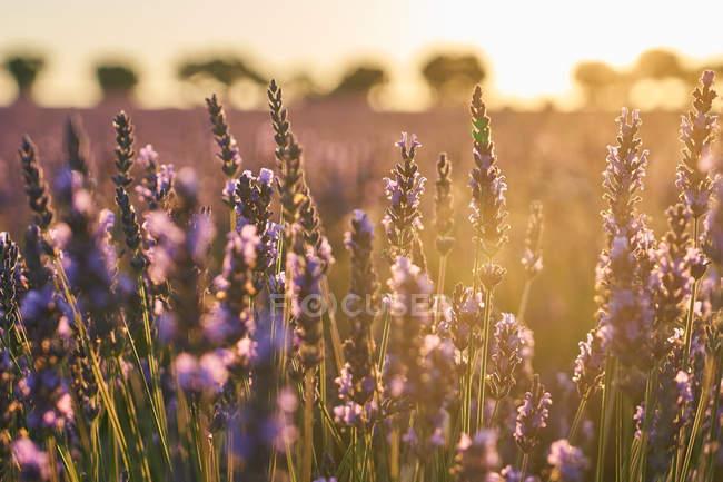 Campo de lavanda violeta grande en luz suave al atardecer - foto de stock