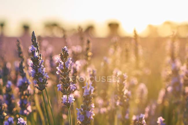 Lavendelfeld bei Sonnenuntergang im sanften Sonnenlicht — Stockfoto