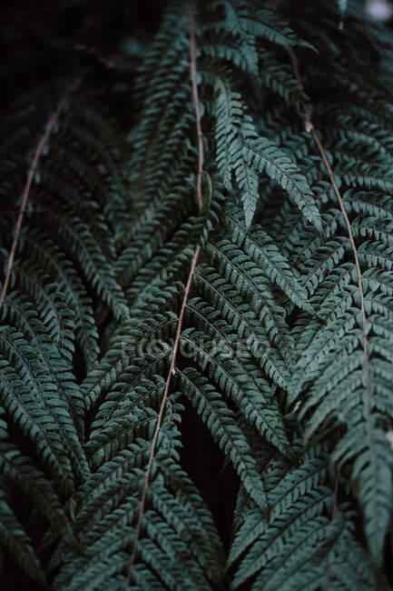 Dark leaves of wonderful fern growing in amazing forest in Spain — Stock Photo