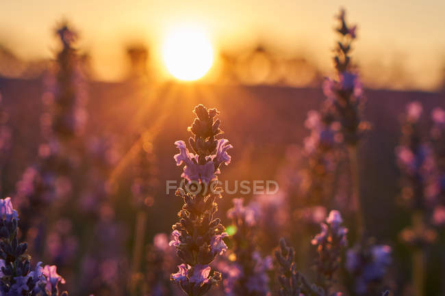 Крупний план фіолетових квітів лавандового поля на заході сонця — стокове фото