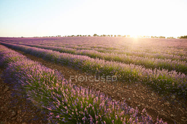 Rows of flowers in big violet lavender field at sunset — Stock Photo