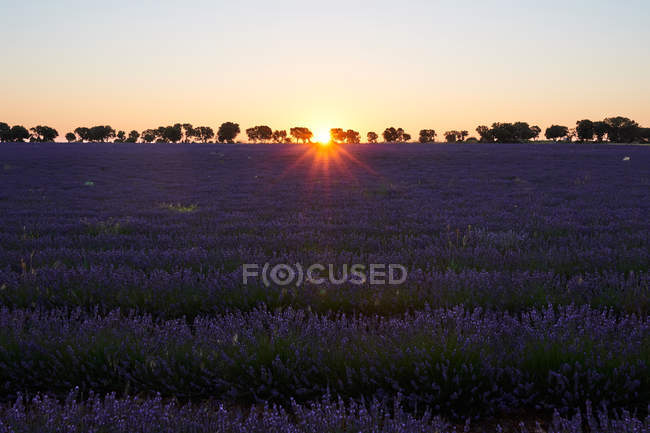Big violet lavender field in countryside at sunset — Stock Photo