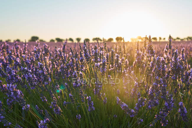 Big violet lavender field at sunset in soft light — Stock Photo