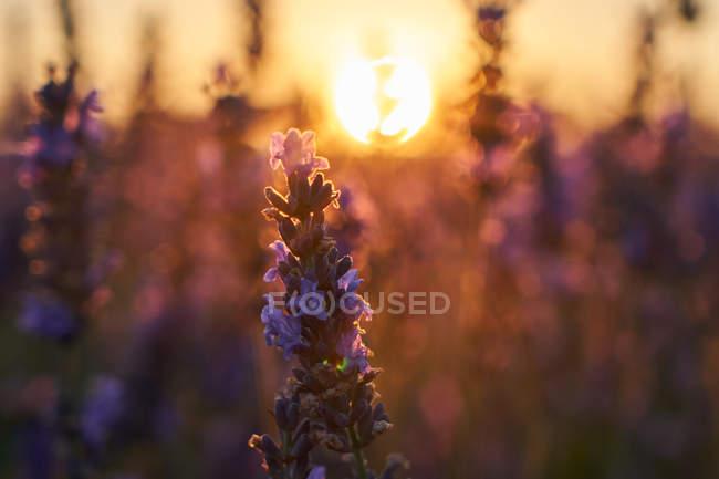 Gros plan de belles fleurs de champ de lavande au coucher du soleil — Photo de stock