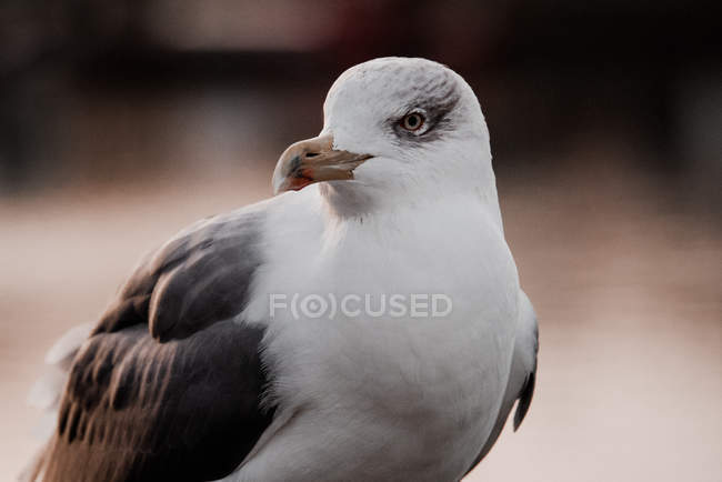 Closeup of gray and white seagull on brick wall on blurred background — стоковое фото