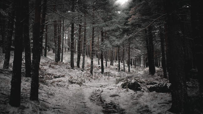 Dark tree trunks in forest covered with snow in Portugal — Stock Photo