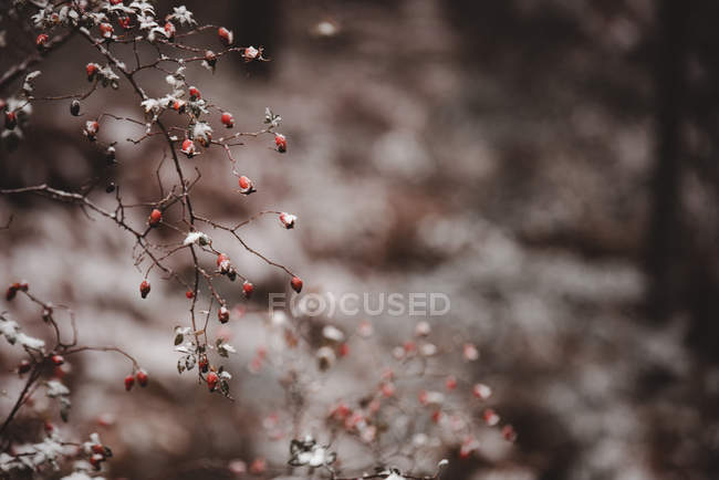 Closeup of red berries covered with hoarfrost in forest on blurred background — Stock Photo