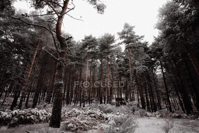Árvores escuras na floresta cobertas de neve em Portugal — Fotografia de Stock