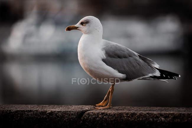 Nahaufnahme einer grauen und weißen Möwe, die auf einer Ziegelwand vor verschwommenem Hintergrund steht — Stockfoto