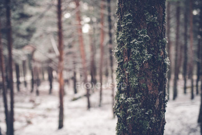 Dark tree trunk in forest covered with snow — Stock Photo