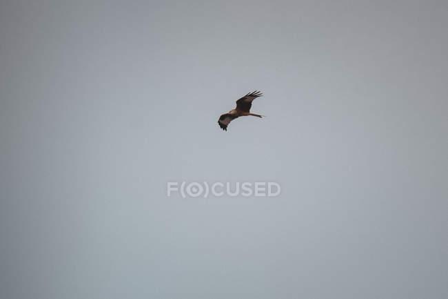 Gran pájaro volando en el cielo gris sin nubes - foto de stock