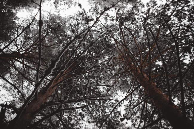 De baixo da vista de abetos em floresta abaixo do céu cinza — Fotografia de Stock
