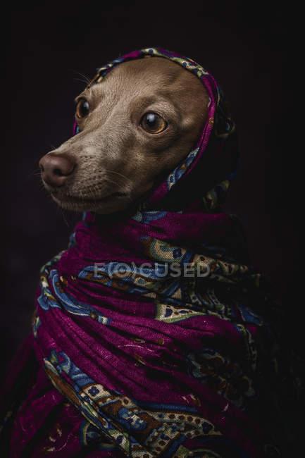 Perro galgo italiano en hijab árabe púrpura, plano de estudio sobre fondo oscuro . - foto de stock
