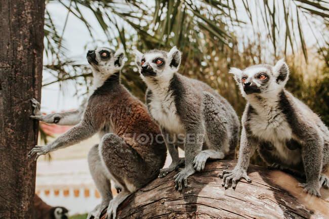 Lemur de pie en el árbol - foto de stock