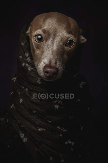 Perro galgo italiano en hijab árabe marrón, plano de estudio sobre fondo negro . - foto de stock