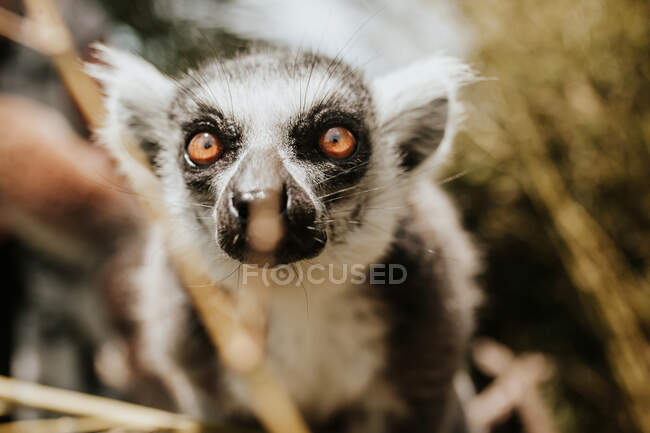 Lemur blickt in die Kamera — Stockfoto