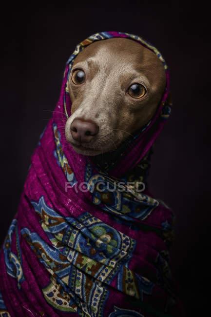 Cão Greyhound italiano em hijab árabe roxo, estúdio filmado em fundo escuro . — Fotografia de Stock
