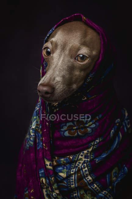 Итальянская собака Грейхаунд в фиолетовом арабском хиджабе, студия снята на тёмном фоне . — стоковое фото