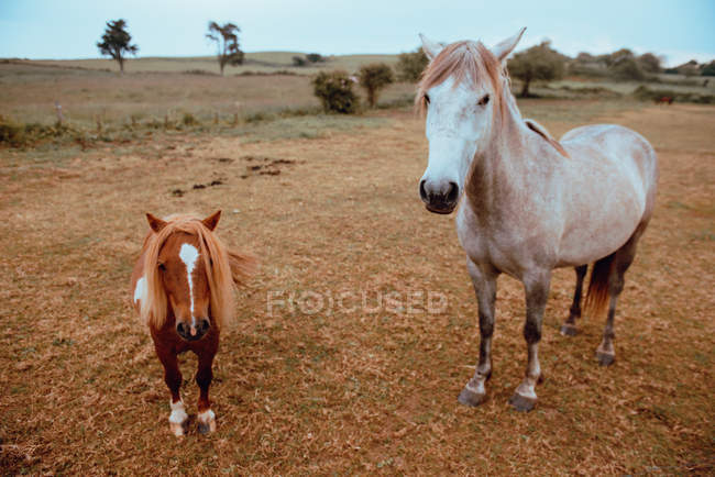 Hermosos caballos domésticos pastando en campo seco - foto de stock