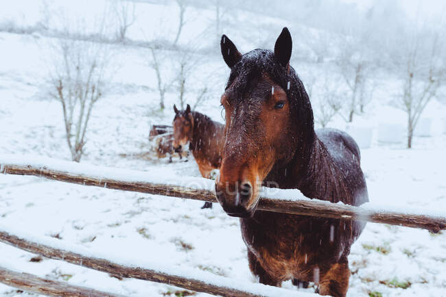 Hermosos caballos de la bahía con crines negros pastando en el campo de nieve - foto de stock