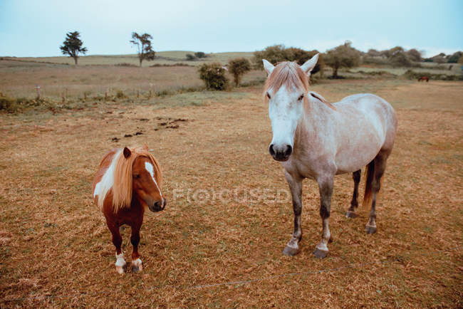 Deux chevaux de ferme debout dans le champ automnal — Photo de stock