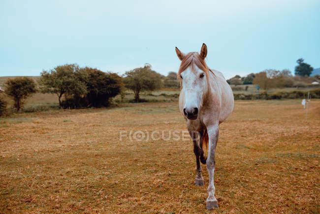 Elegant beige horse grazing in farm field in autumn — стокове фото