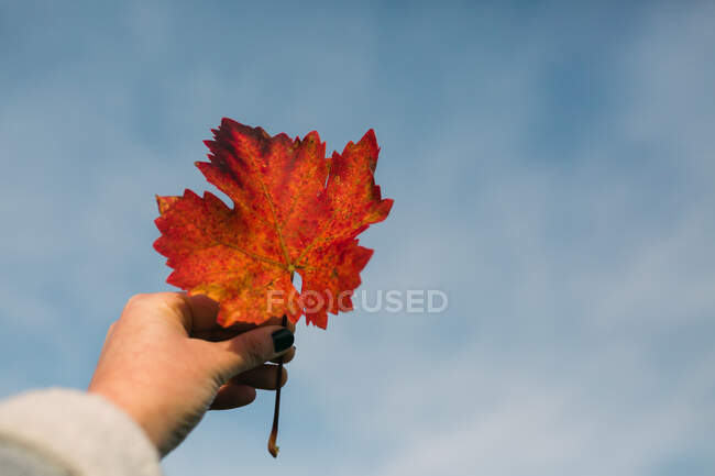 From below hand of unrecognizable woman holding orange autumn leaf against blue sky on sunny day — Stock Photo