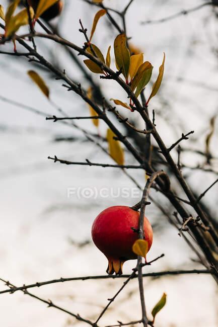 Pomegranate on autumn tree in garden — Stock Photo