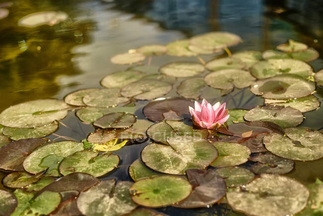 Amazing pink water lily flower floating on surface of clean pond on sunny day in nature — Stock Photo