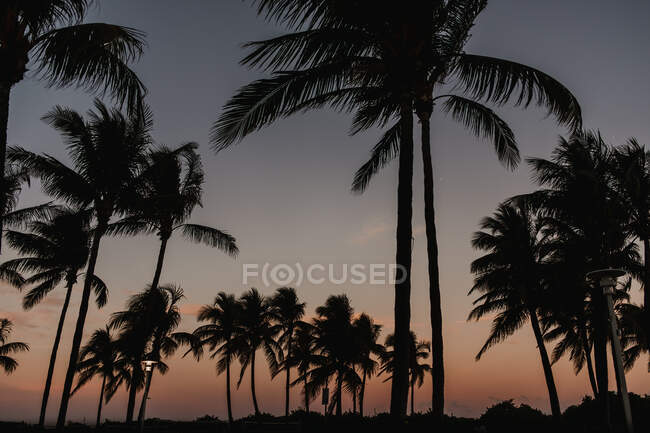 Beautiful tall palms growing against cloudy sky on majestic windy day sunset in Miami — Stock Photo