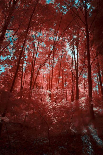 Дивовижні інфрачервоні дерева, що ростуть у чудових гаях проти яскравого неба в Лінці (Австрія). — стокове фото