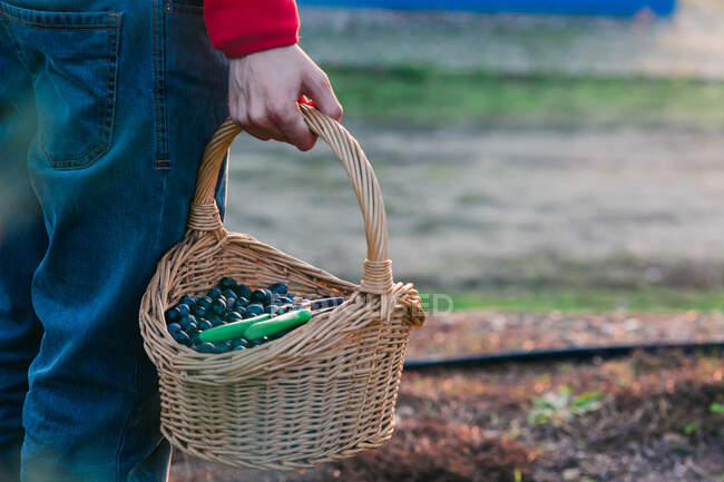 Unrecognizable person holding basket full of fresh black olives while standing in garden — Stock Photo