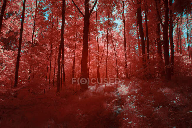 Amazing infrared trees growing in wonderful grove against bright sky in Linz, Austria — Stock Photo