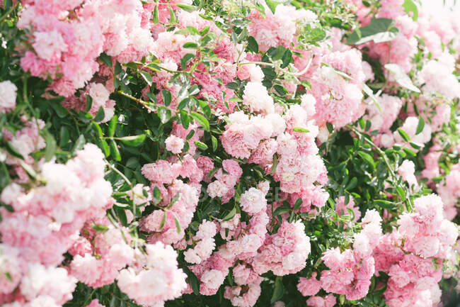 Green bush blooming with beautiful pink flowers and growing in amazing garden on sunny day — Stock Photo
