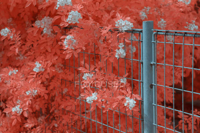 Bright infrared leaves on cute plant near wooden fence on suburban street — Stock Photo