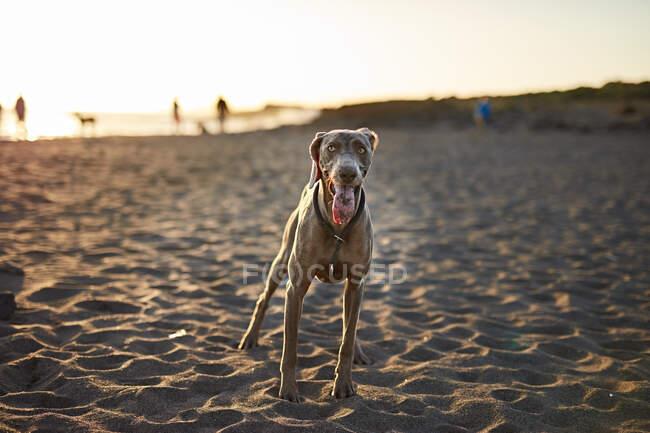 Смешная собака на пляже — стоковое фото