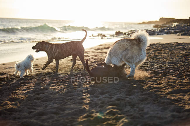 Dogs running near waving sea — Stock Photo