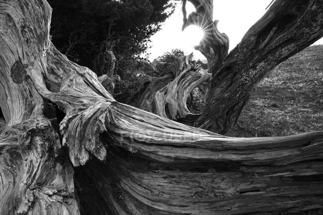 Черно-белый чудесный ствол сухого дерева между растениями на острове Йерро, Канарские острова, Испания — стоковое фото