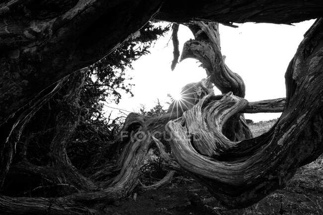 Black and white wonderful dry wood trunk between plants in Hierro Island, Canary Island, Spain — Stock Photo