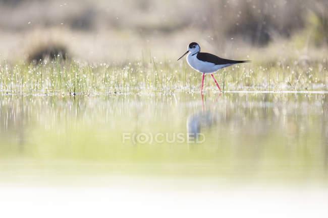 Pájaro basculante caminando entre el agua y la hierba verde en tiempo soleado en la Laguna de Belena, Guadalajara, España - foto de stock