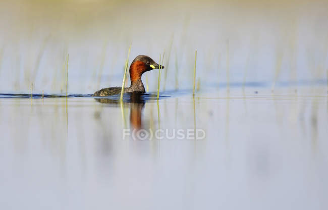 Piccolo uccello del grebe che galleggia sulla superficie dell'acqua tra l'erba verde nella laguna di Belena, Guadalajara, Spagna — Foto stock