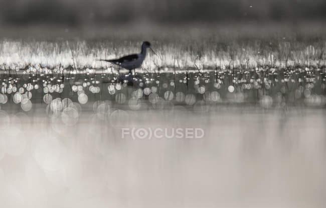 Птица, гуляющая между водой и травой в солнечную погоду в Белена-Лагун, Гвадалахара, Испания — стоковое фото