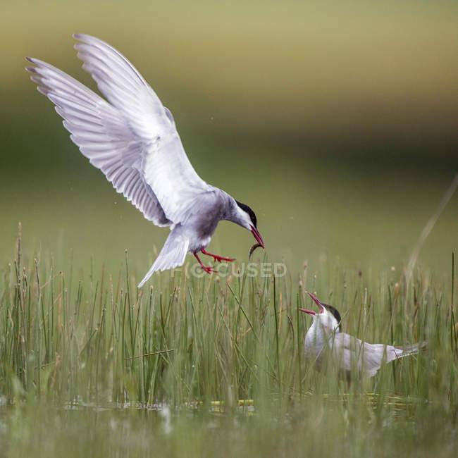 White bird bringing food to bird between green grass on blurred background in Belena Lagoon, Guadalajara, Spain — Stock Photo