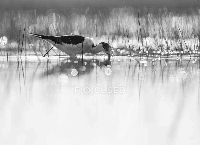 Pájaro montés caminando cazando en el agua en la Laguna de Belena, Guadalajara, España - foto de stock