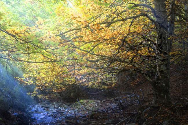 Magnifique arbre aux feuilles jaunes poussant sous des rayons de soleil brillants dans une forêt d'automne fantastique — Photo de stock