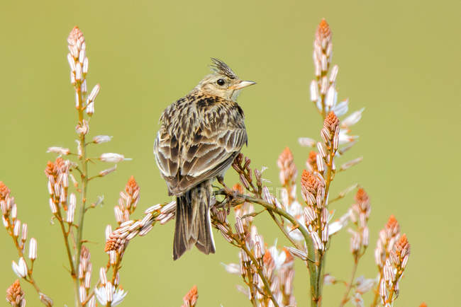 Crested lark bird perching on branch on blurred background in Belena Lagoon, Guadalajara, Spain — Stock Photo